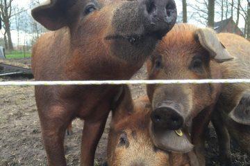 Duroc varkens dichtbij