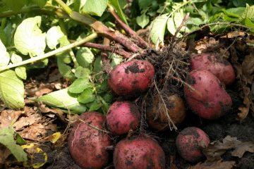 Aardappels rooien moestuin