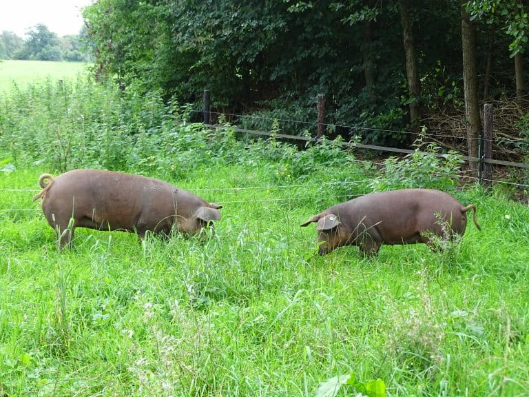 Volwassen varkens in het groen.