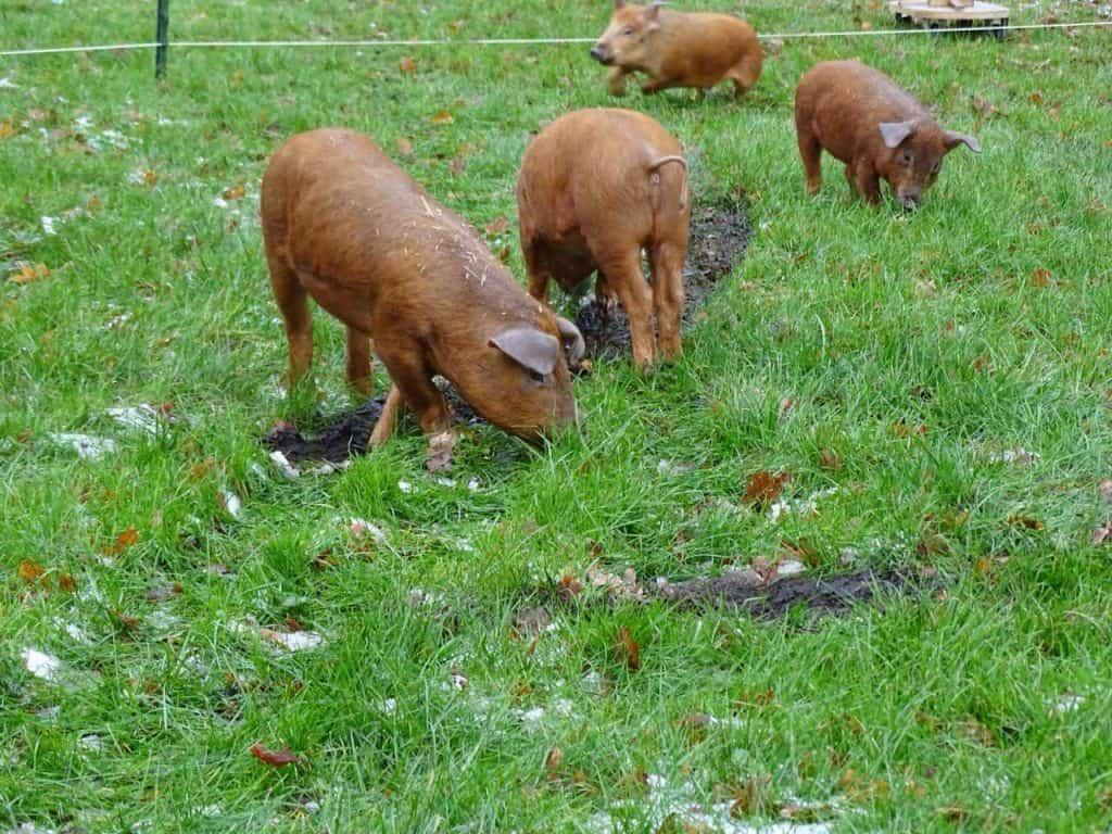 Jonge varkens in het groen