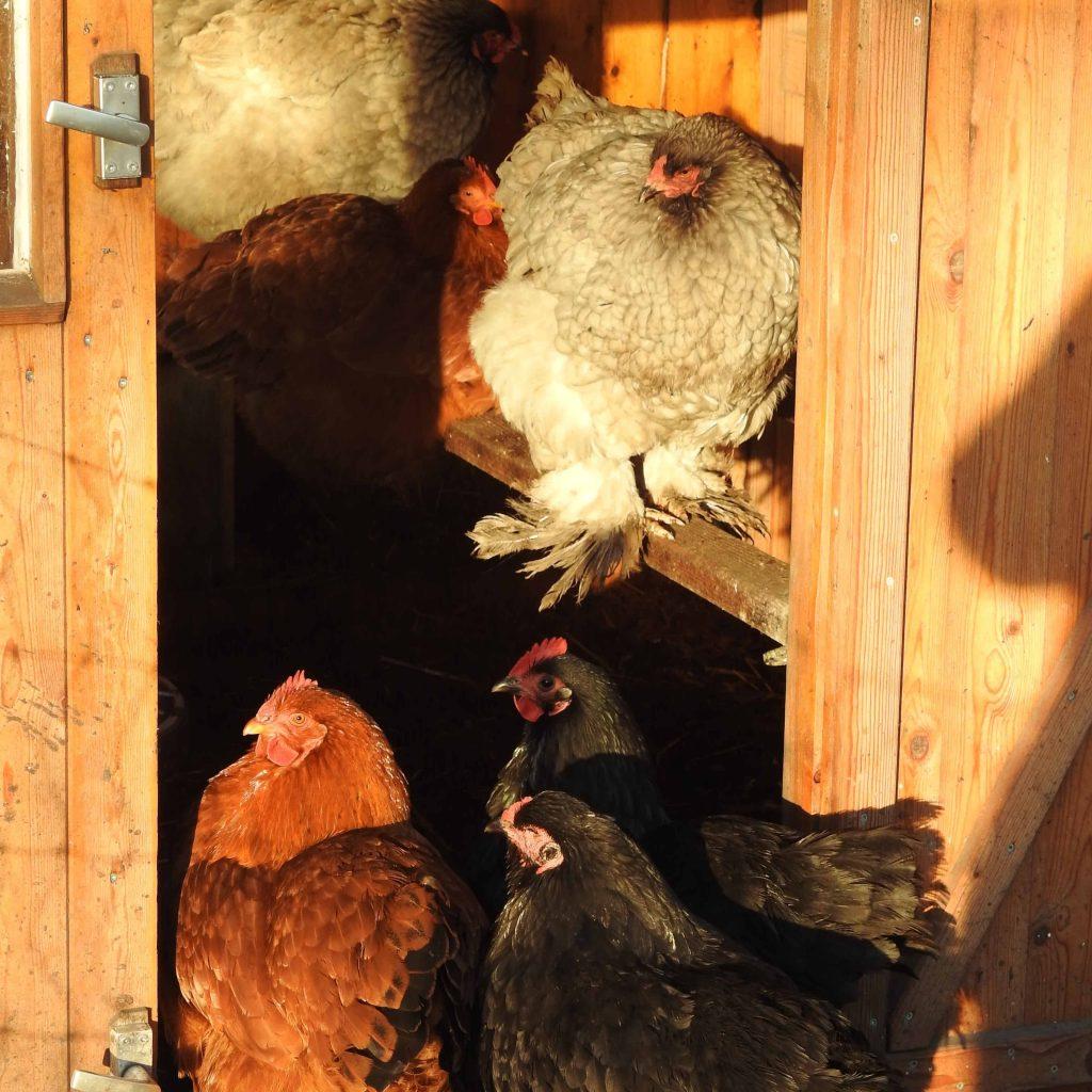 Kippen overleg in het kippenhok